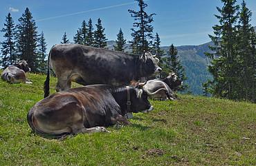 Kühe auf den Almwiesen in Fiss